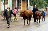 China, Gansu, Linxia, Hui muslim ethnos men leading two cows