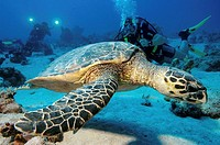 Green sea turtle Red sea Egypt