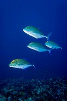 Bluefin jackfishes Komodo Indonesia
