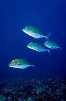 Bluefin jackfishes Komodo Indonesia