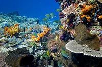 Coral reef scene Komodo Indonesia