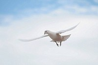 Dove flying