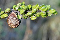 A snail on the buds of a Sea Squil (Urginea maritima), Crete, Greece