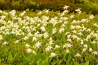 Avalanche lilies (Erythronium montanum), Mt Rainier National Park, Washington, USA