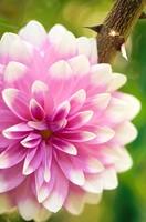 Pink Dahlia Bloom and Rose Thorns. Dahlia hybrid. October 2007. Maryland, USA.