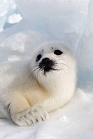 Harp Seal (Phoca groenlandica), pup. Magdalen Islands, Quebec, Canada