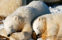 Two young Polar Bears Ursus maritimus, cubs, sleeping, at Hudson Bay, Canada, North America