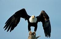 Bald Eagle (Haliaeetus leucocephalus), Alaska, USA