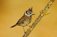 Crested Tit (Parus cristatus). Sierra de Puertollano, Ciudad Real province, Castilla-La Mancha, Spain