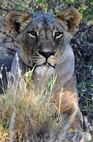 Lioness (Panthera leo), portrait, Samburu National Reserve, Kenya, East Africa, Africa