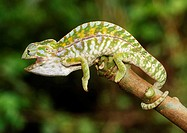 Carpet or Jewel Chameleon (Furcifer lateralis), male