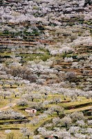 Cherry trees (Prunus sp.), Valle del Jerte, Extremadura, Spain