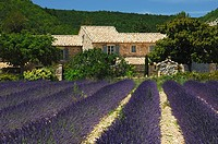 Rows of Common Lavender Lavandula angustifolia, Provence, France, Europe