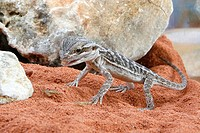 Young Bearded Dragon, Pogona vitticeps, agamids