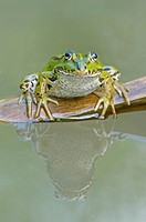 Mirrored Edible Frog Rana esculenta