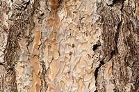 Aleppo Pine, bark, Provence, Southern France, Pinus halepensis