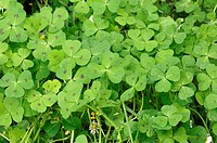Spotted Medick, Provence, Southern France, Medicago arabica, Heart Clover