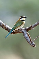White-throated Bee-eater (Merops albicollis) perched on a branch, Samburu National Reserve, Kenya, East Africa