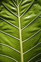 Green leaf close_up
