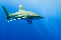 Oceanic Whitetip Shark (Carcharhinus longimanus), Red Sea, Egypt, Africa