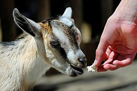 Young Domestic Goat (Capra hircus hircus) being hand fed
