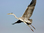 Grey heron , Ardea cinerea , in flight