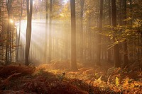 France, Lyon-the-forest, sunshine between beech