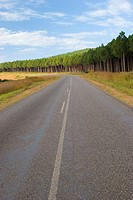 Road with forest of pine trees, Malawi
