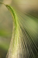 Barley husk, close-up