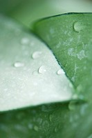 Water droplets on plant leaves, extreme close-up