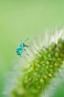 Green Shield bug nymph on flower