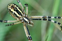 Yellow Garden Spider argiope aurantia, close-up