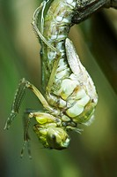 Molting dragonfly emerging from exoskeleton, close-up