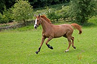 Chestnut Mare Running