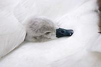 Mute swan (Cygnus olor), chick