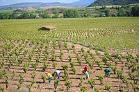 Working in Rioja vines, Spain