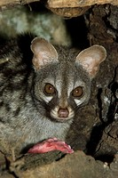 Genet (Genetta genetta). Northern Spain