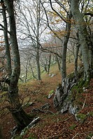 Forest of beech and birch trees in autumn, Natural Park 'Collados del Asón' , Cantabria, Spain