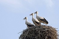 Three young White Storks (Ciconia ciconia) in the nest, Altlandsberg, Brandenburg, Germany, Europe