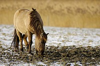 Konik horse Equus spp _ National Park Lauwersmeer, Frisia, The Netherlands, Holland, Europe