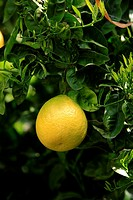 Pummelo,shaddock pummelo,Citrus maxima,California,USA,fruits hanging on tree