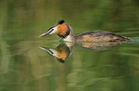 Great Crested Grebe (Podiceps cristatus) swimming, reflected on the water's surface