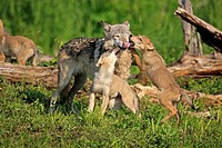Gray Wolf,Grey Wolf,Canis lupus,Minnesota,USA,adult with youngs