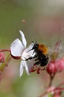 Early bumblebee Bombus pratorum
