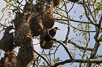 Montezuma Oropendola (Psarocolius montezuma) perched in a tree, Tikal, Guatemala, Central America