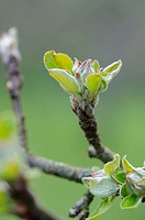 A bud on an apple tree (Malus)