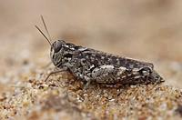 desert grasshopper Calliptamus barbarus _ Olonne_sur_Mer, Vendee, Pays de la Loire, France, Europe