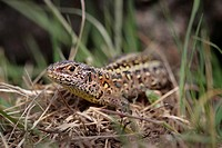 Sand Lizard Lacerta agilis _ Noorderheide, Elspeet, Veluwe, Guelders, The Netherlands, Holland, Europe