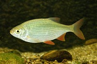 pearl roach, Red_eye Scardinius erythrophthalmus