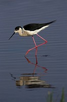 Black_winged Stilt Himantopus himantopus